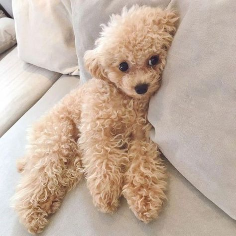 Alles, was ich an Active Poodle bewundere - Animals and lovely stuff - Hunde Toy Poodle Puppies, Cute Dogs And Puppies, I Love Dogs, Toy Poodles, Doggies, Pet Dogs, Yorkie Poodle, Dog Cat, Cute Baby Animals