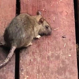 How To Get Rid Of Rats With Homemade Poison Dengarden