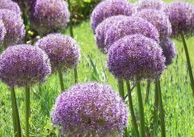 Laga 2010 Landesgartenschau Aschersleben 202 Allium Globemaster Riesenzierlauch Als Rosenbegleitpflanzung