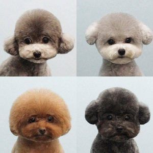Pin On 100 Most Beautiful Poodle Cuts Poodle Hairstyles