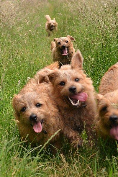 Toosey Norfolk Terrier Norfolk Terrier Terrier Pet Breeds