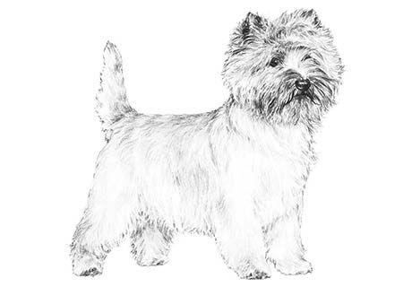 Cairns Of Goshen Heights Has Cairn Terrier Puppies For Sale In