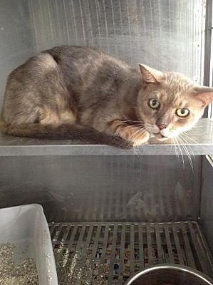 Urgent Kill Shelter Senior Wauchula Fl Domestic Shorthair