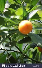 Calamansi Citrus Microcarpa Google Search Essential Oil For