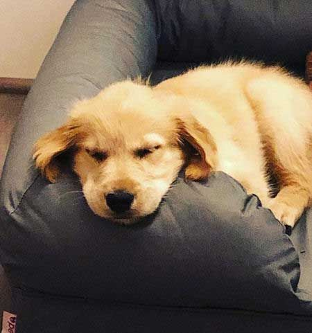 10 Irresistible Pictures Of Baby Golden Retriever Puppies And Crazy Facts Golden Retriever Golden Retriever Baby Puppies