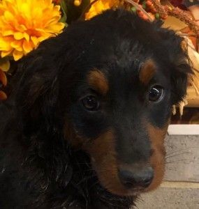 Adopt Werthers On Dog Mixes Dog Adoption Bernese Mountain Dog