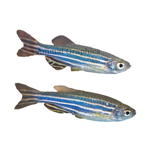 Zebra Danio In 2020 Pet Fish Fish Live Fish