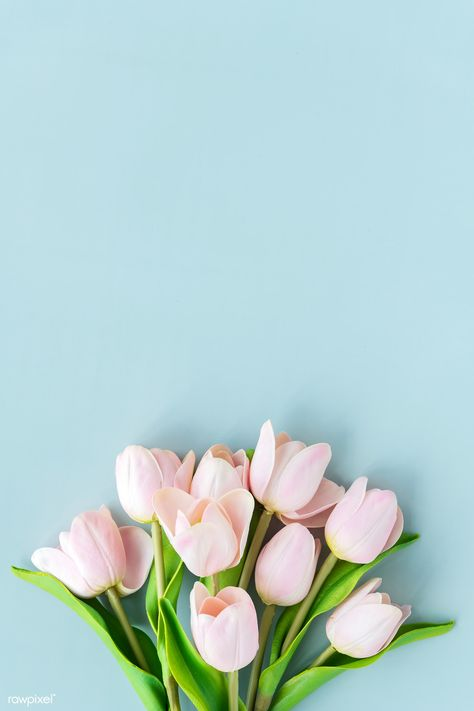 Pink tulip on blank blue background template | premium image by rawpixel.com / Ake