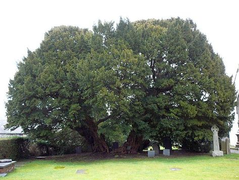 Llangernyw Yew, Wales http://bit.ly/1bXYFQr