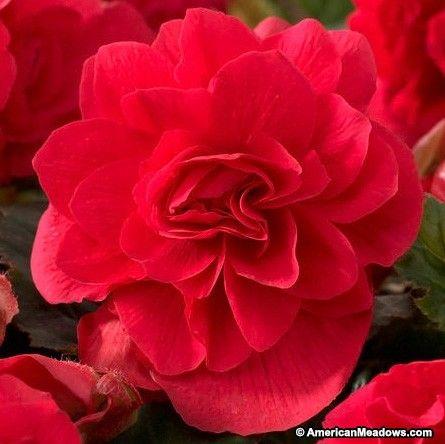 Double Scarlet Begonia Shade Loving Flowers Bulb Flowers Begonia