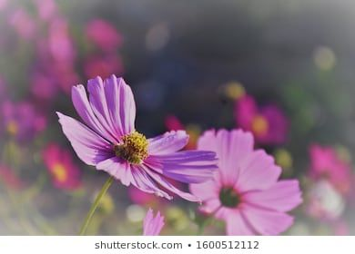Violet Cosmos Flowers In Field Background Beautiful Beauty Bloom Blooming Blossom Botany Bright Closeup In 2020 Cosmos Flowers Cosmos Whimsical Garden