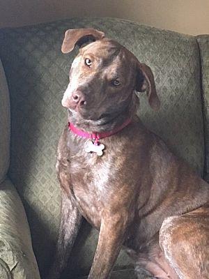Flemington Nj Labrador Retriever Meet Bree A Pet For Adoption Labrador Retriever Pet Adoption Adoption