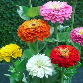 Zinnia Seed Collection 6 Individual Colors Flower Seeds Zinnia Flowers Zinnia Elegans
