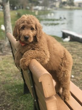 Goldendoodle Puppy For Sale In Lakeland Fl Adn 64037 On