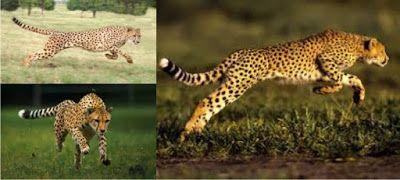 Fakta Fakta Yang Perlu Anda Tahu Tentang Cheetah Cheetah Merupakan Hewan Karnivora Yang Mempunyai Kecepatan Larinya Yang Sangat Cepat Di Habitat Hewan Afrika