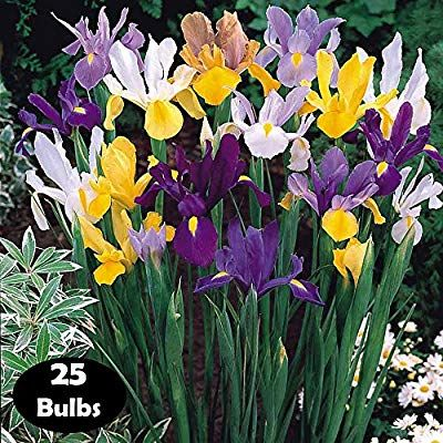 Amazon Com Willard May Mixed Tall Dutch Iris 25 Bulbs Garden Outdoor In 2020 Dutch Iris Iris Flower Garden Plants
