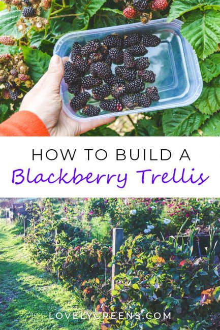 Wood, wire, and eyelet screws are all you need to build a simple blackberry trellis. This is an inexpensive way to grow thornless blackberries Blackberry Trellis, Blackberry Plants, Blackberry Tree, Thornless Blackberries, Growing Blackberries, Grow Strawberries, Raspberries, Fruit Garden, Edible Garden