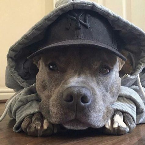 Uplifting So You Want A American Pit Bull Terrier Ideas. Fabulous So You Want A American Pit Bull Terrier Ideas. Staffy Dog, Blue Staffy, Pitbull Terrier, Bull Terriers, Cute Baby Animals, Funny Animals, Animals Dog, Cute Puppies, Dogs And Puppies
