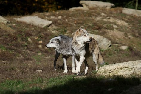 Forest Wolves Timber Wolves Canada Predator Forest Wolves