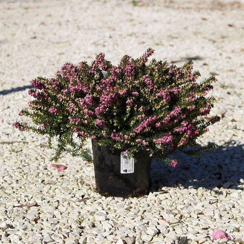 fiori Erica X Darleyensis...
