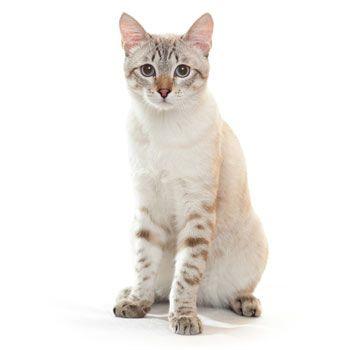 Thajská mačka