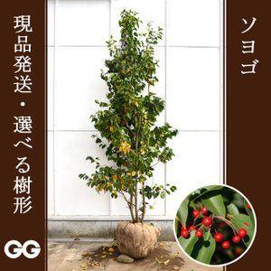 お客様へのおすすめ 通販 庭 木 常緑樹 シンボルツリー