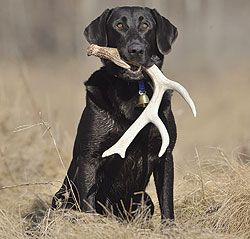 How To Shed Hunt With Your Dog Hunting Dogs Training Dog
