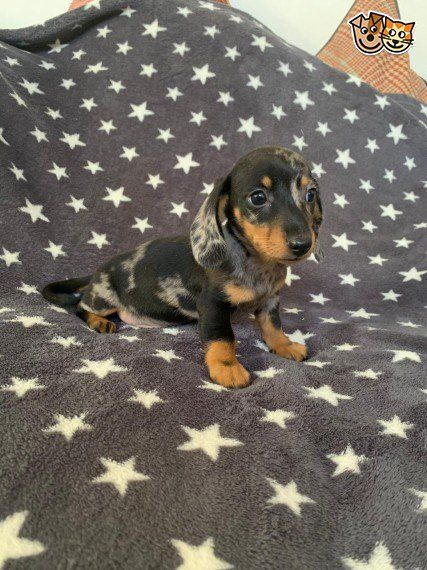 Dachshund Middlesbrough Miniature North Pets4homes Puppies Yorkshire Miniature Dachshund Pupp Dachshund Puppy Miniature Dachshund Puppies Dachshund Pets