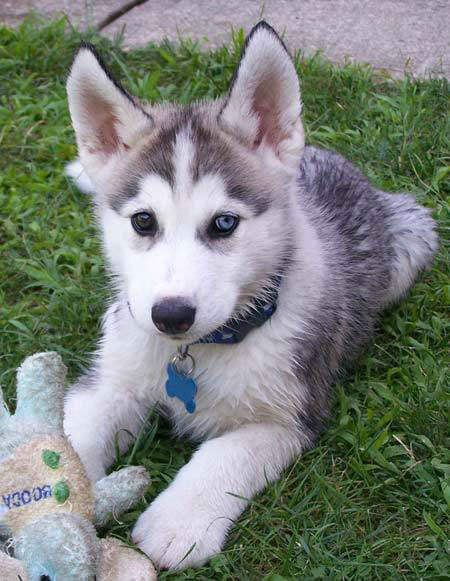 Husky Pup With Heterochromatic Eyes Different Colored Baby