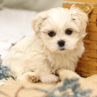Malshi Html Maltipoo Maltese Poodle Mix Shihtzu Shichon Puppy