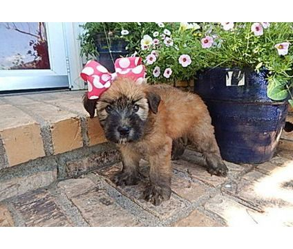 Only 320 Vggfhfhrf Soft Coated Wheaten Terrier Puppies For