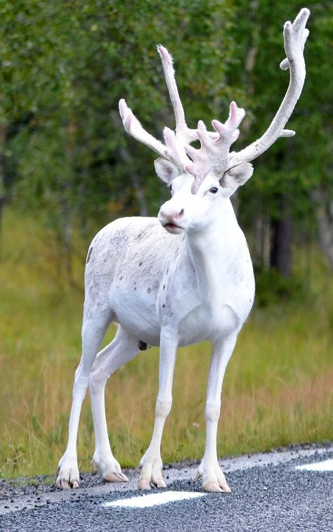 whitereindeer Have you ever seen an all-white reindeer? Have you ever noticed a reindeer that is not all dark brown? We spotted one in Sweden and it was an all-white reindeer! Something that we had never seen before! Amazing Animals, Unusual Animals, Animals Beautiful, Exotic Animals, Spotted Animals, Majestic Animals, Animals Of The World, Animals And Pets, Funny Animals
