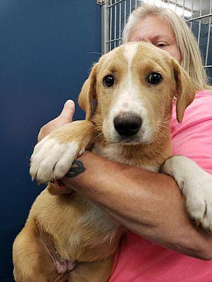 Henderson Nc Labrador Retriever Meet Blondie A Pet For