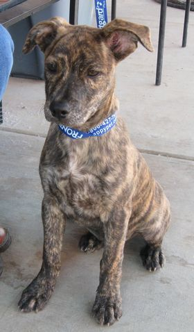 Brindle pitbull doberman mix