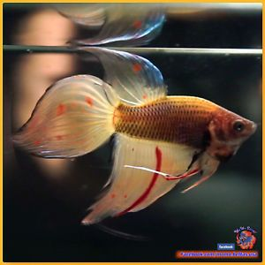 Pin On Tropical Freshwater Fish