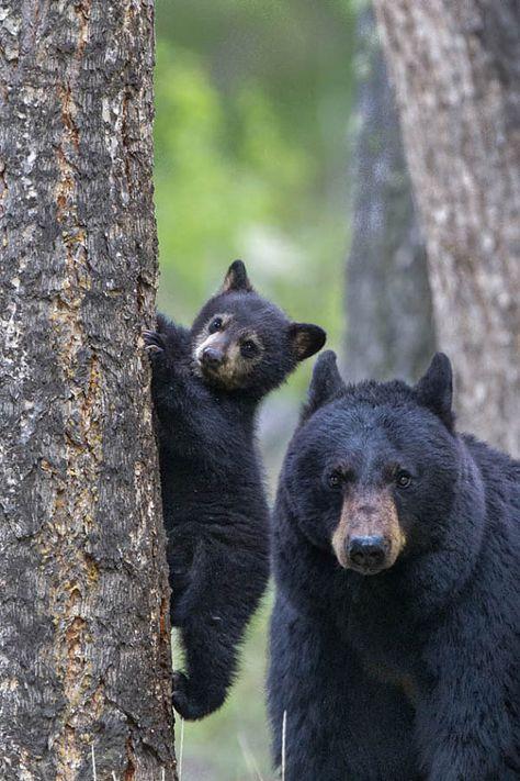 MAMA BEAR with cubs Photo Print, Black Bear Photography, Nursery Art, Mom and Babies Bear Cub, Baby