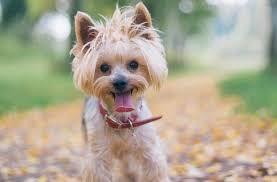 Image Result For Female Teddy Bear Yorkie Haircuts Yorkie Haircuts Small Dog Names Cute Small Dogs