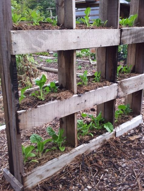 That is so cool.  Saves space and utilizes pallets at the same time.  Would work well for strawberries too.  Any vining plant would be great to get off the ground.   vertical pallet gardening | south africa