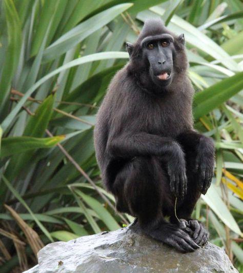 Sulawesi Black Crested Macaque Dublin Zoo Primates Unique Animals Macaque