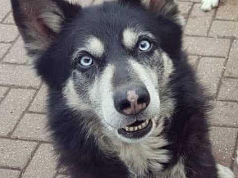 Siberian Husky Cross Wolfdog Stud Available Husky Cross Husky
