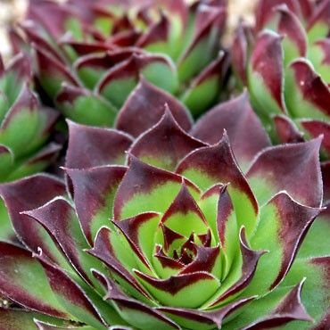 Sempervivum Tesoro cold hardy succulent plant