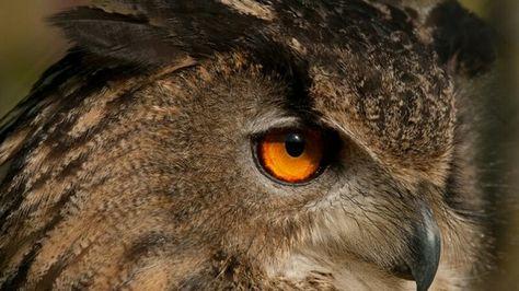 Uil,  mooie ogen
