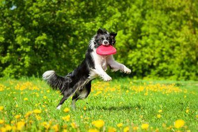 フリスビーで遊ぶボーダーコリー 可愛すぎる動物 犬 ボーダーコリー