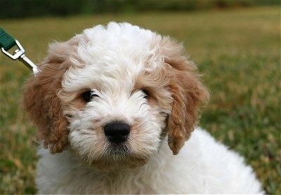 Close Up Front View Head Shot A White With Tan Petite Goldendoodle Puppy Is Sitting In Grass L Goldendoodle Miniature Goldendoodle Puppies Goldendoodle Puppy