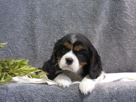 Litter Of 5 Cavalier King Charles Spaniel Puppies For Sale In Myerstown Pa Adn 69013 On Cavalier King Charles Dog King Spaniel Cavalier King Charles Spaniel