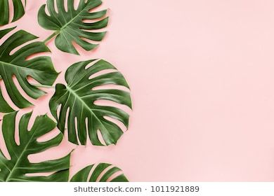 Tropical Leaves Monstera On Pink Background Flat Lay Top View Tropical Leaves Pink Background Leaf Background Aliexpress carries many tropical leaf wall art related products, including posters and prints tropic , printed painting for living room wall art decor hd , art canva flower , canvas painting poster home decor , painting and kiss , box geometric nordic , pictures posters nordic geometric abstract , art flower print. tropical leaves pink background leaf