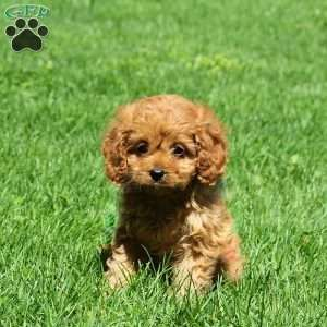 Cavapoo Puppies For Sale Cavapoo Dog Breed Info Greenfield Puppies Cavapoo Puppies Cavapoo Puppies For Sale Cavapoo