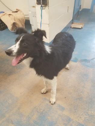 41964242 Adoptable Dog Adult Female Smooth Collie Mix Dog