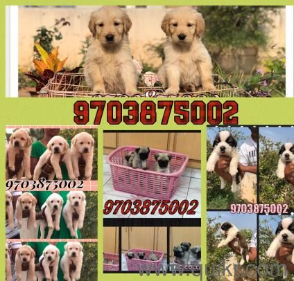 Dogs For Sale Olx In In Hyderabad Show Quality Beagle Puppies Available In Pune Pets Beagle Dogs Olx Online Classifieds Beagle Dog In 2020 Beagle Puppy Puppies Pets