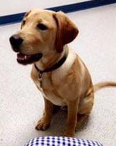 Lost Dog Blaine Yellow Lab Male Date Lost 11 07 2018 Dog S